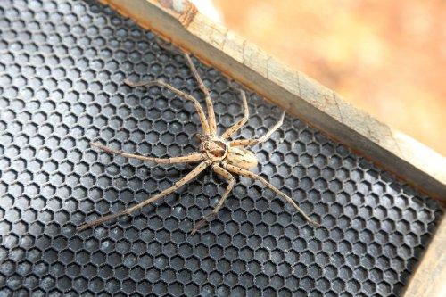 spider - bug