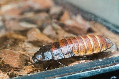 cockroach - pest