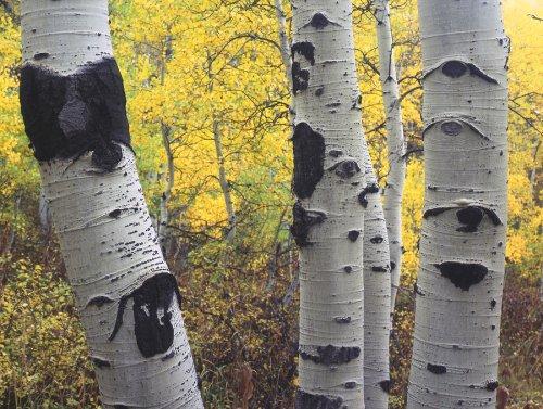 aspen - trees