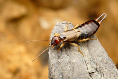 Earwig in Pleasanton, CA