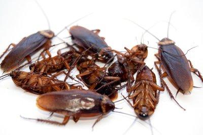 Cockroach-Infestation