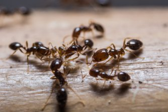 Ant treatment pleasanton